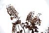 Brown skeletons of oak leaf hydrangeas against a grey sky.