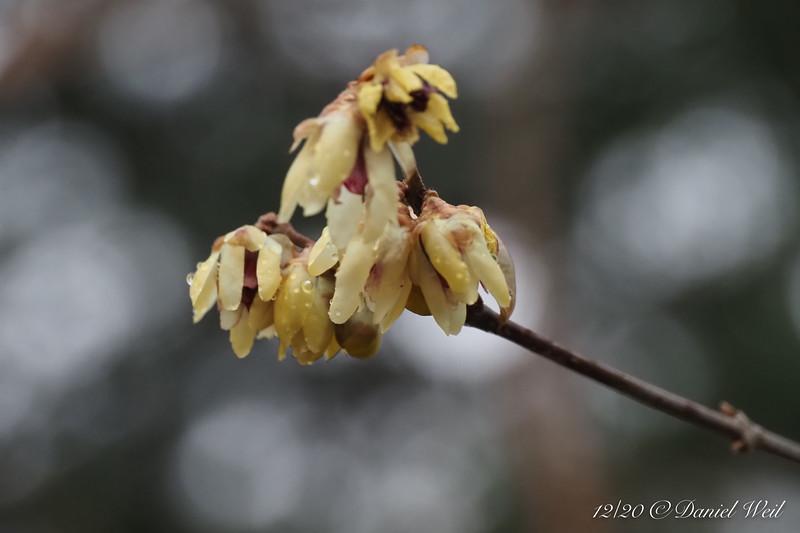 Chimonanthus, back forty