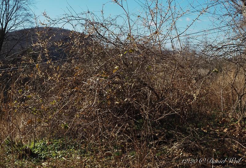 Chimonanthus bush