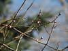Prunus mume 'Fragrant Snow' buds swelling....