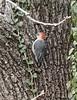 Red-bellied woodpecker on black walnut tree.