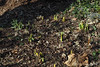 Rijnveld's Early Sensation daffodils 12/29/20