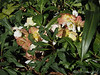 Helleborus niger, blooming out, Crater