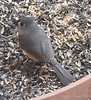 Tufted titmouse...  Odd to see them single.  Usually they're two abreast.
