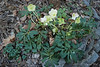 Helleborus niger and Cyclamen hed.  -- north walk