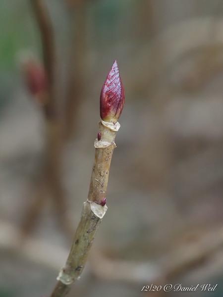 Hydrangea bud....