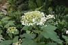 Hydrangea, still in pot