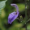 Brillantaisia subulugurica, tropical