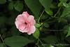 Rose on N side of kitchen porch