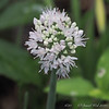 Allium- senescens, I think