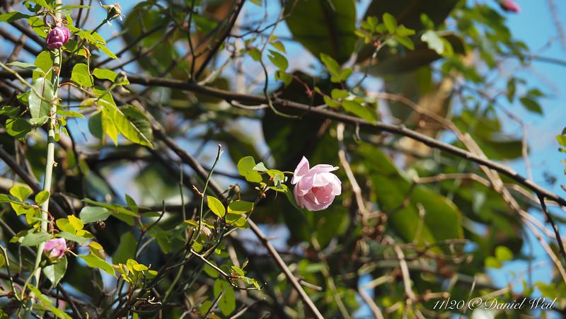 Rose up a magnolia.