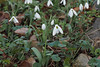 Montrose snowdrops by linden, shade room