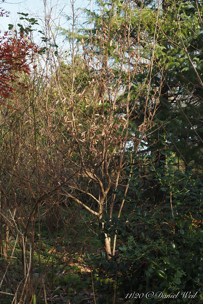 Witch hazel, buds swelling, Back Forty bed.