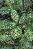 Other aucuba near small arbor