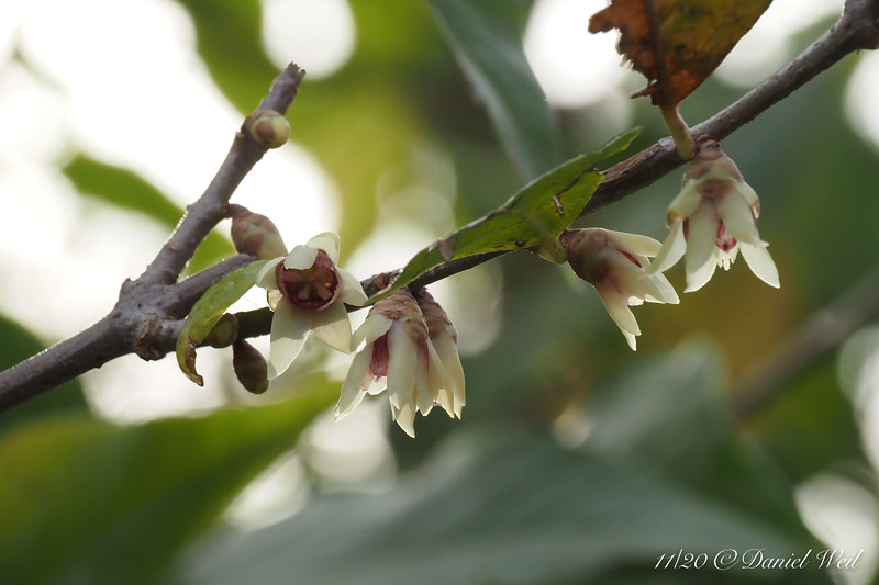 First Wintersweet to bloom, E of small arbor