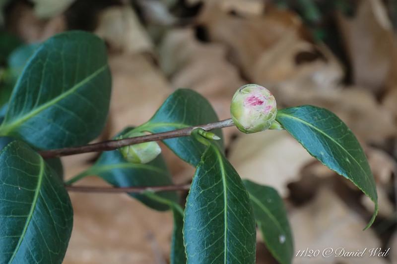 Camellia E of dining room