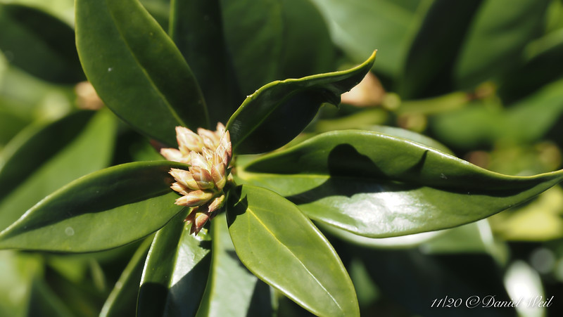 Sarcococca confdusa buds, a month early
