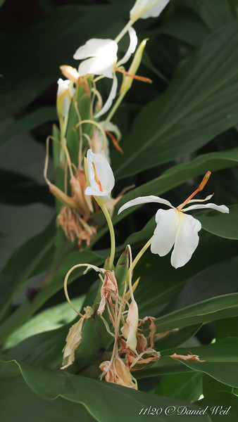 Hedychium in g'house