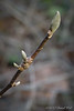 Buds of golden spring magnolia, hellebore bank