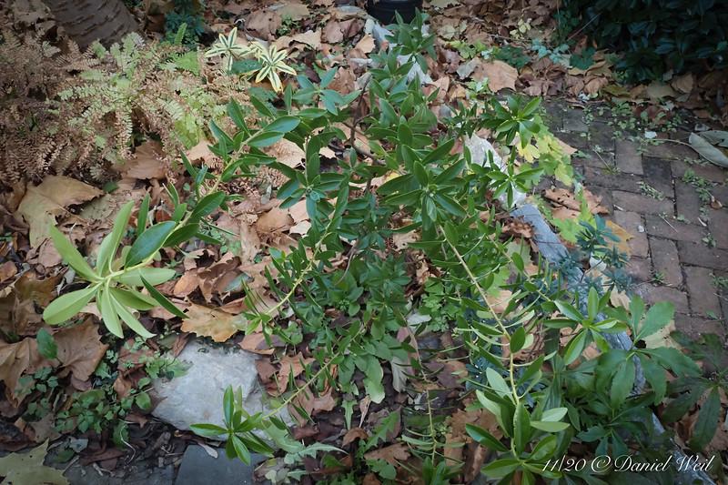 New, unusually gangly/scraggly Daphne, under Tai-haku cherry ,in bud