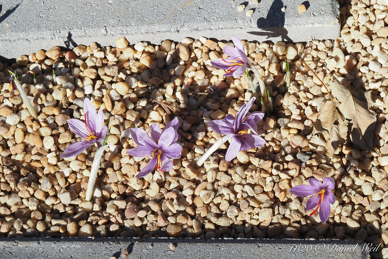 Saffron crocus, purchased sprouted as pity puppies, a few days after