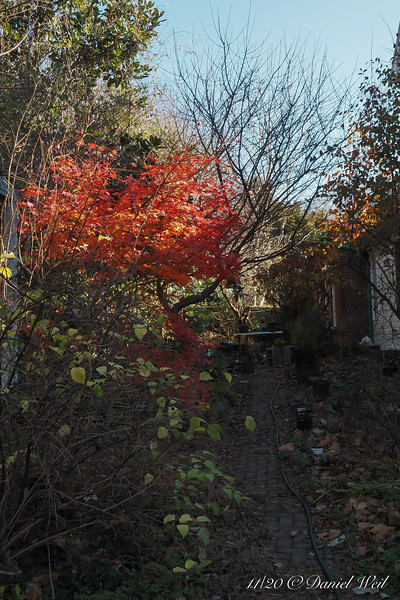 Japanese maple S of small arbor; the echoing color to right background is oakleaf hydrangea