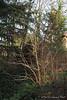 Spring (golden) magnolia, Hellebore bank