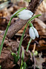 January snowdrops, six weeks early