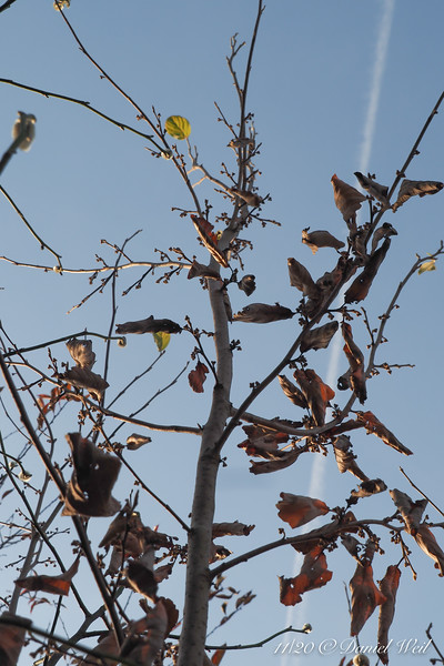 Witch hazel, buds swelling, Back Forty bed.  Note contrail...