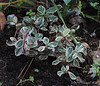 Variegated Wintergreen, back forty bed (only planted this year)