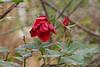 Rose, courtyard