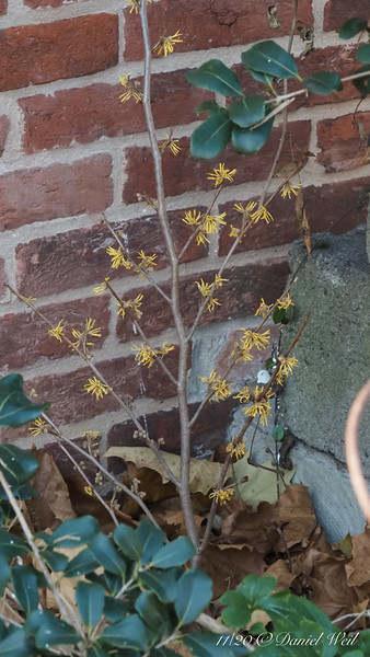 Witch hazel, to the best of my recollection NOT a vernalis cv...... Two months early.