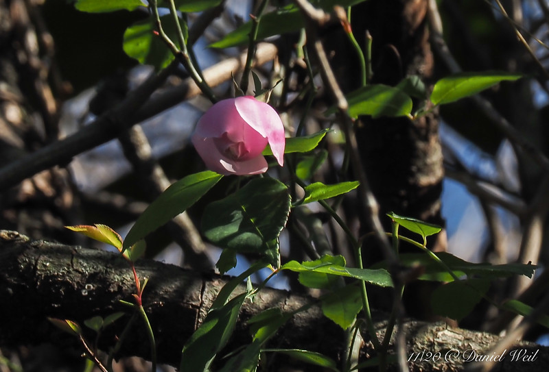 Rose up the magnolia 11/29/20