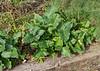 Essentially plain green Ital arum ex Linda H.