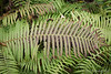 Even thugs have their Beautiful Moments.  Ostrich fern.