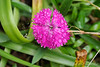 Dianthus.  Dan says, note water caught in spiderweb, too!