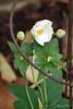 Newly planted anemone Honorine Jobert, DR window bed