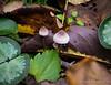 Tiny mushrooms near Winding Walk.  Note cyclamen leaf for scale.