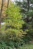 Magnolia stellata hybrid starting to turn, hellebore walk