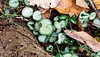 Cyclamen coum, seeding in