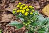 Chrysanthemum/Ajania, E of small arbor