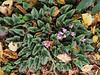 Cyclamen hederifolium, regular and sagittate, ex G.G.