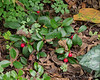 Wintergreen-- the FIRST TIME of many times trying, that it has lived and appears to be spreading.  Studio walk.