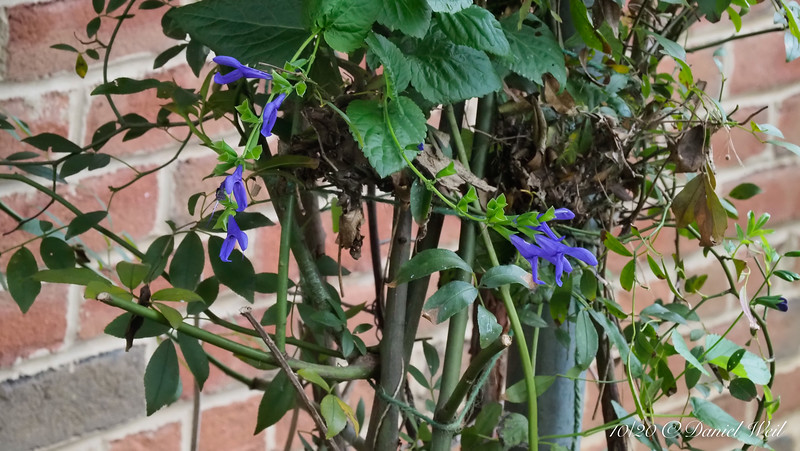 Salvia guaranitica among canes of Rosa banksiae