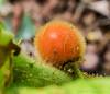 Solanum fruit, highway bed