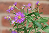 Aster from plant swap,  by DR window