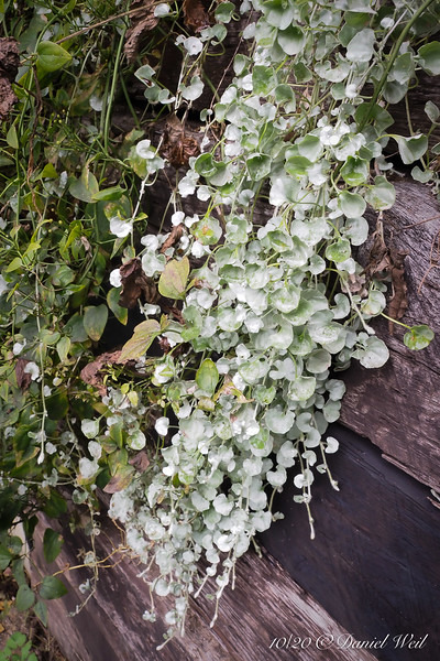 Dichondra draping over RR tie wall @ library stairs