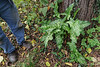 Huge, vivid Italian arum, will get bigger yet.  And under a black walnut, to boot.
