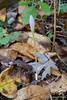 One last autumn crocus....again.....
