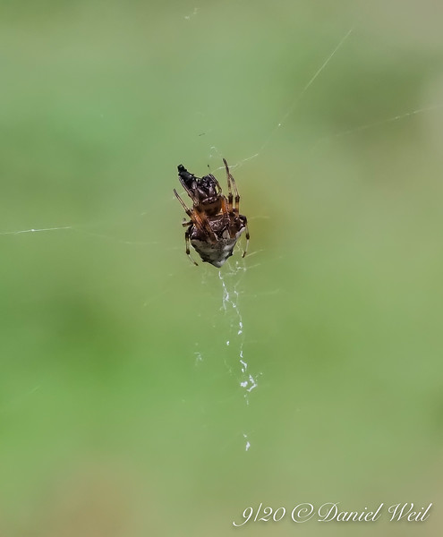 Another kind of spider